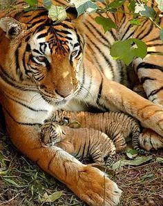 Preciosos tigres de bengala en la India, descansan junto a su linda mami en las instalaciones del Zoológico Estatal de Assam en Guwahati Animals And Pets, Baby Animals, Cute Animals, Wild Animals, Animals Images, Beautiful Cats, Animals Beautiful, Beautiful Family, House Beautiful