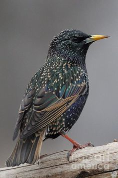 "Starling - Most people dislike this bird but I love them.  They can mimic any sound and I had one that used to ""bark"" at my feeder if it was out of suet!:"