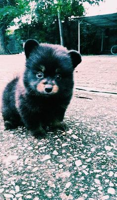 cutest little bear ever now every body wishes they had one as a pet i think every body should stick to dog for now Cute Little Puppies, Cute Little Animals, Cute Funny Animals, Cute Puppies, Cute Dogs, Dogs And Puppies, Doggies, Cute Small Dogs, Cute Creatures