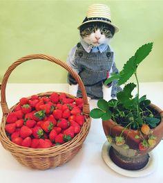 Strawberry farmer cat