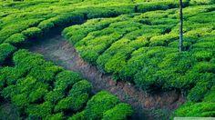 Green tea field....