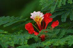 Une fleur de flamboyant à l'ile de la Réunion.