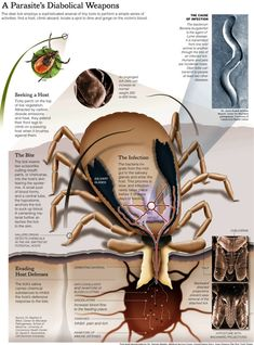 In light of the FDA's recent fast track for the new Lyme disease vaccine brought to us by Valneva, which is still made out of OspA, we need to to talk about this. So what are spirochetes? Deer Ticks, Tick Bite, Veterinary Medicine, Survival Life, Lyme Disease, Useful Life Hacks, Health And Wellness, The Cure, Weapons