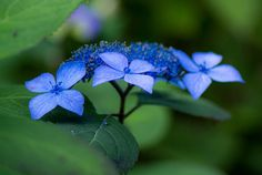 Hydrangea - 2013 紫陽花 | Flickr - Photo Sharing!