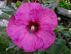 Hardy Hibiscus, 'Plum Crazy' seeds available in fall.