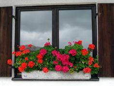 Nejoblíbenější balkonový květ je bezpochyby muškát. Své krásné květy vystavuje okolí poměrně dlouhou dobu, a i proto ho ve velkém kupují a sázejí všechny milovnice kouzelných květinových zákoutí. Ne každému muškátu se však daří a vypadá tak, jak ty na obrázcích. Chcete-li mít opravdu husté a bohaté