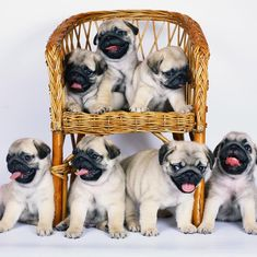 """For all occasions from our popular Pug range. The """"Party Pugs"""" feature a wrap around design, so one pug is shown on the rear of the card. Baby Animals, Cute Animals, Pugs And Kisses, Baby Pugs, Pug Pictures, Popular Dog Breeds, Pug Puppies, Cute Pugs, Pug Love"""