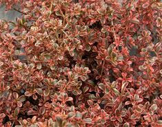 "Coprosma ""fire burst"" Evergreen shrub, New Zealand, height 3'-4', width 3'-4', Full sun/ part shade, occasional water"