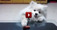 This Adorable Puppy Will Do ANYTHING to Get His Treat - an Epic Struggle