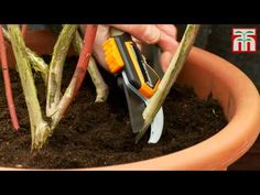 How to prune blueberry bushes video with Thompson & Morgan. Growing Blueberries, Growing Grapes, Growing Plants, Container Gardening Vegetables, Vegetable Garden, Fruit Garden, Pruning Blueberry Bushes, Gemüseanbau In Kübeln, Small Flower Gardens