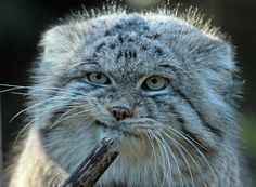 White Wolf : This Mongolian Cat Is The Most Expressive Cat In The World (17 Pictures)