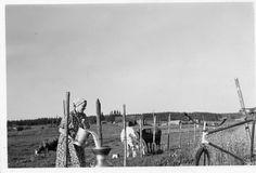 Cows, Finland, American