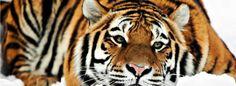facebook timeline cover Tiger HD 1080p Tiger HD 1080p facebook timeline cover 849 X 312