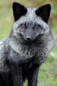 Sliver fox