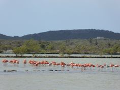 Visit the Flamingo Sanctuary at St. Willibrordus on your way to one of the many beaches on Curacao