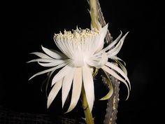 Queen of the Night Flower | Beautifull photos of night queen flowers pictures