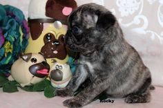 """Fairytailpuppies """"where pets are family too - ROCKY"""