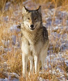Animal Encounters: Wolves at Yellowstone National Park