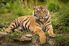 Just Chillin Tiger Cub | by Debshaynes