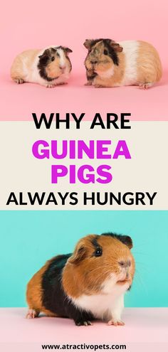 We have written an article for you to learn more about guinea pig behaviour! #petstuff #pethome #guineapigscute #cuteguineapigs #guineapigstuff #guineapigs