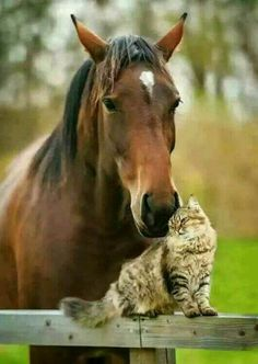 This cat and horse love to cuddle and snuggle together. It's obvious the cat is not afraid of his big buddy as he keeps pushing up against him for snuggles.