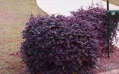 Purple Diamond Loropetalum, zone 7a to 10b. H and W 4 to 5/6 (respectively). Low water and maintenance.