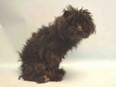 SUPER URGENT 07/09/16 Manhattan Center SCRUFFALINA – A1080607  FEMALE, GRAY, POODLE MIN MIX, 5 yrs STRAY – STRAY WAIT, NO HOLD Reason STRAY Intake condition UNSPECIFIE Intake Date 07/09/2016, From NY 10462, DueOut Date 07/12/2016