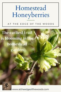 The earliest fruit is blooming in the homestead garden Mason Bees, Homestead Gardens, Homesteading, Outdoor Gardens, Bloom, How To Plan, Plants, Red, Plant