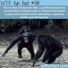 WTF Facts : funny, interesting & weird facts — Chimpanzee Warfare: The Gombe Chimpanzee War - WTF. Wtf Fun Facts, True Facts, Funny Facts, Random Facts, Strange Facts, Funny Jokes, Random Stuff, Hilarious, The More You Know