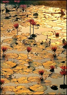 Lilly Pads #flowers