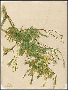 mimosa / acacia / wattle
