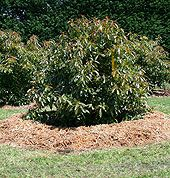 How To Mulch Around Plants Properly