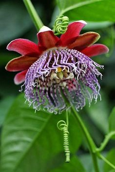 Passiflora ambigua is a spectacular passion flower from the rain forests of Central America. Red and purple fringe festoon huge rosy blooms that ripen into tasty golden fruits that were cultivated by Unusual Flowers, Unusual Plants, Rare Flowers, Exotic Plants, Amazing Flowers, Beautiful Flowers, Pink Flowers, Strange Flowers, Purple Peonies