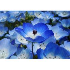 Baby Blue Eyes (Nemophila): 20 Sementes