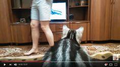 集中してテレビを見ているときに視界をさえぎられると、思わず反射的に体を動かすこと、ありますよね。  本日YouTubeからご紹介するのは、動物番組に夢中なニャンコの動 …