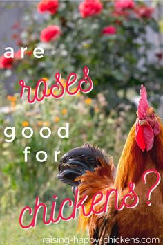 Are roses good for chickens? Pin for later. Chicken Eating, Canned Chicken, Chickens Backyard, Growing Plants, Rose Petals, Raising, Roses, Homesteading, Poultry