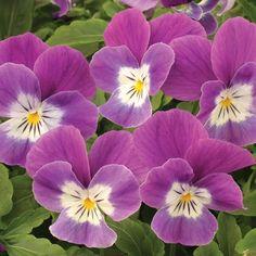 Hybrid Viola 'Velour Purple & White' (Viola)