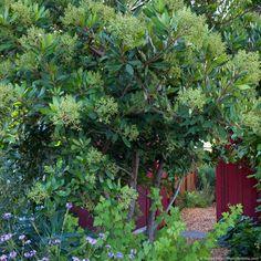 Toyon (Heteromeles), California native evergreen shrub, with Verbena by entry to side garden Sibley drought tolerant front yard garden, Richmond California