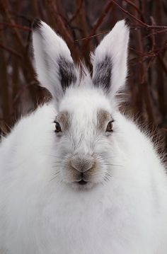 Arctic Hare a. Mountain Hare a. Arctic Hare, Arctic Animals, Cute Animals, Wild Creatures, All Gods Creatures, Beautiful Creatures, Animals Beautiful, Canadian Wildlife, Mundo Animal