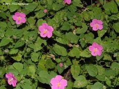 Texas Native Plant Week–Rock Rose ...