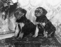 Saska and Mirka six weeks old Airedale Terrier. c. 1922