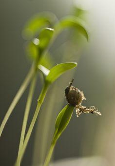 Chinakohl in nordeuropäischen Gärten anpflanzen • Pflanzen Tipps & Tricks • 99Roots.com