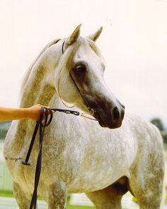 El Thay Ibn Halim Shah (Ansata Halim Shah x Mahameh) 1985 grey SE stallion bred by El Thayeba Stud