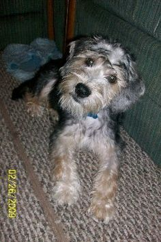 Harley the Schneagle at 6 months old.