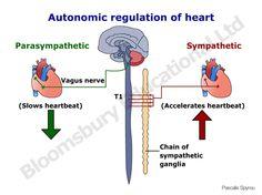 simple autonomic nervous system heart rate sympathetic. Black Bedroom Furniture Sets. Home Design Ideas