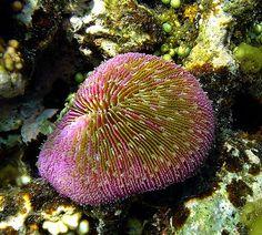 mushroom coral, single sex and asdrogynous