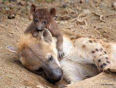 Hyena & cub by Lisl Moolman