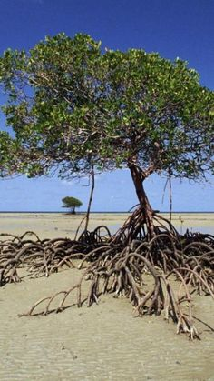 Mangrove - storm surge savior