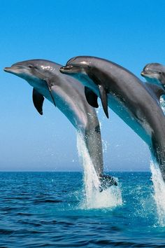 I went swimming with dolphins in Mexico Baby Zoo Animals, Animals And Pets, Cute Animals, Crazy Animals, Dolphin Hd, Bottlenose Dolphin, Underwater Creatures, Underwater Life, Beautiful Creatures