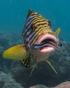 Oriental Sweetlips with Cleaner Wrasse in Mouth Oriental Sweetlips with Cleaner Wrasse in Mouth by azrael3141